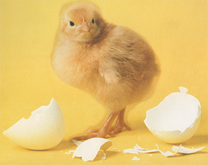 baby chick by egg shells
