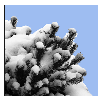 snow on mugo pine
